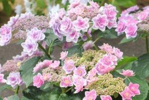 ピンクの可愛い紫陽花の写真