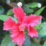美しいハイビスカスの花の写真