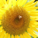 大きな黄色のひまわりとミツバチの写真