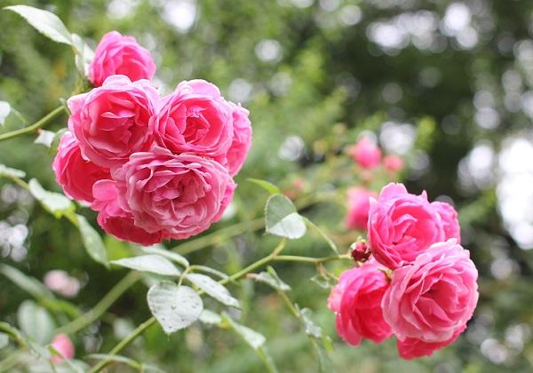 雨上がりのピンクの薔薇の写真