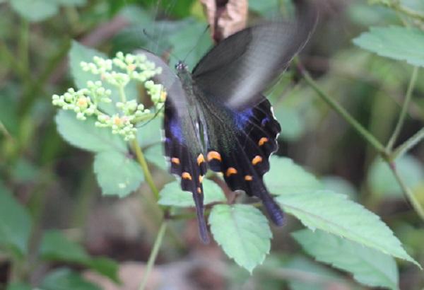 アゲハ蝶の写真